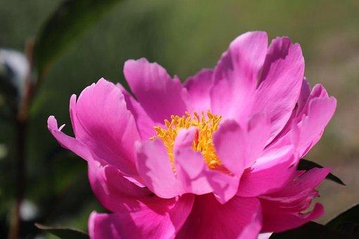 Mayflower, Pink, Nature, Spring, Flower, Blossom, Bloom