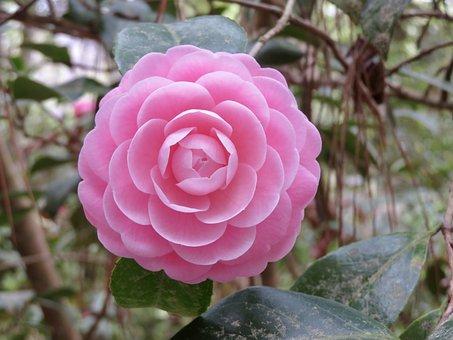 Camellia, Flower, Bloom, Blossom, Spring, Nature, Rose