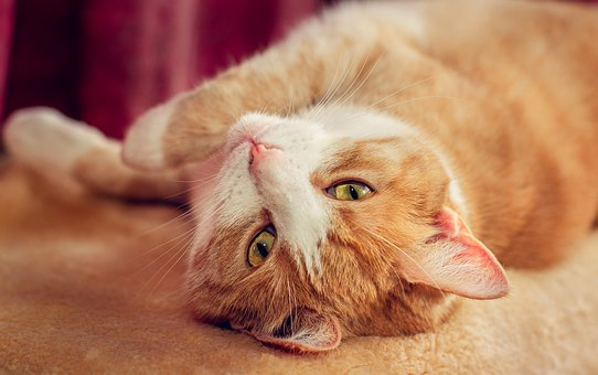 Cat, Red, Domestic Cat, Red White, Cat's Eyes, Cuddly