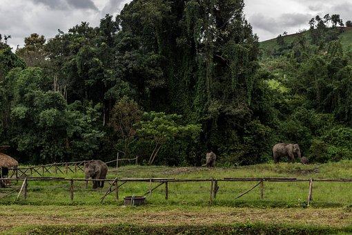 Elephants, Chiang Mai, Thailand, Animals, Majestic