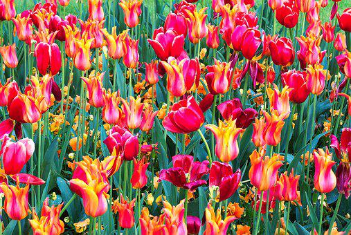 Tulips, Colourful, Spring, Flowers, Bright, Red, Orange
