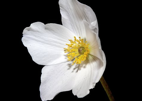 Cosmea, White, Flower, Blossom, Bloom, Nature, Cosmos