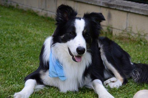 Border Collie, Dog, Border, Pets