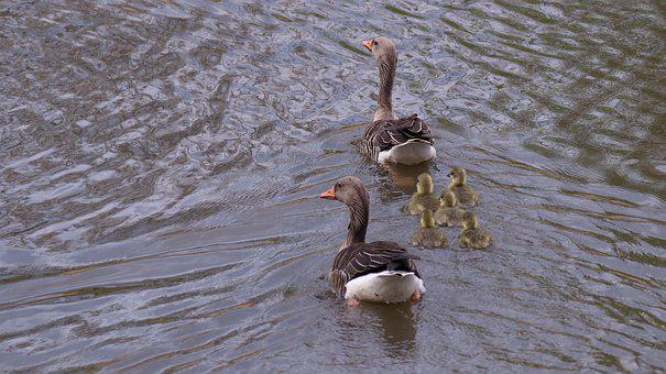 Geese, Chicks, Nature, Cute, Young Bird, Family