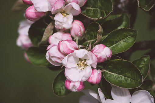 Apple Tree Flowers, Flowers, White, Pink, Branch