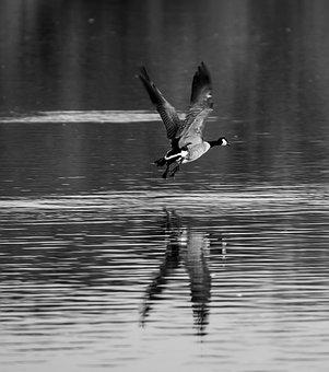 Goose, Monochrome, Flying, Water, Lake, Flight, Picture
