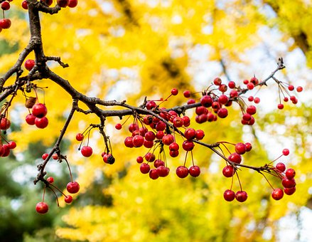Autumn, Berries, Red, Gold, Trees, Fruit, Leaves