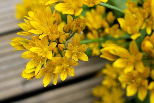 Ornamental Onion, Yellow, Green, Allium Stratos, Allium