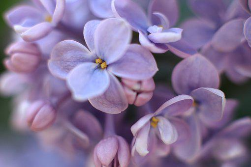 Lilac, Flowers, Plant, Purple, Spring, Bloom, Nature