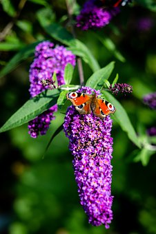 Nature, Butterfly, Garden, Insect, Summer, Fauna, Wings