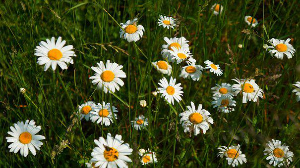 Nature, Plants, Flower, Daisy, Meadow, White