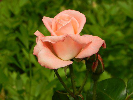 Rose, Pink, Flower, Romantic, Nature, Blossom, Bloom