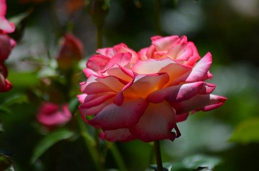 Pink, Rosary, Flower, Garden, Orange Rose, Salmon Pink