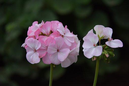 Geranium Discussion, Pink, Spring, The Garden, Nice
