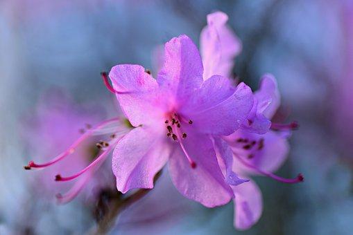Azalea, Flower, Shrub, Petal, Pistil, Stamen, Spring