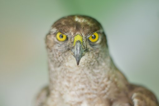 Eagle, Eye, Wildlife, The Eye, Raptor, Feather