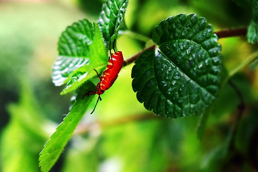 Leafy Bug, Red Insect, Tree Branch, Red Bug, Leaves
