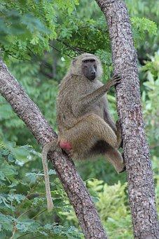 Baboon, Mole National Park, Ghana, Animals, Safari