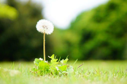 Dandelion, Soft, Softness, Natural, Plant, Fluffy