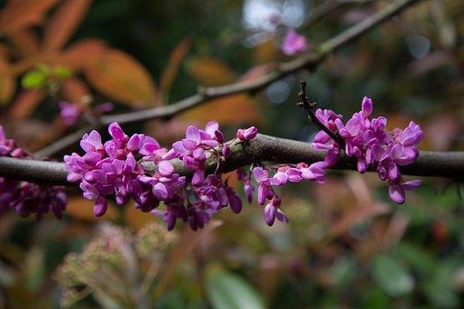 Flowers, Judas Tree, Spring, Pink, Blossom, Petals