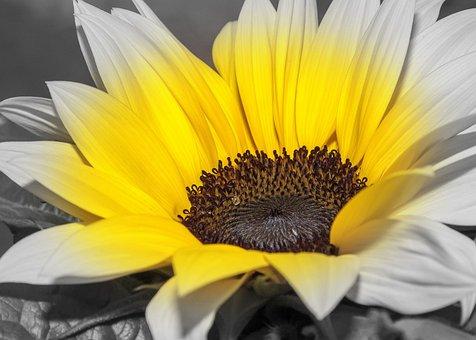 Helianthus, Sunflower, Color Key, Flower, Blossom