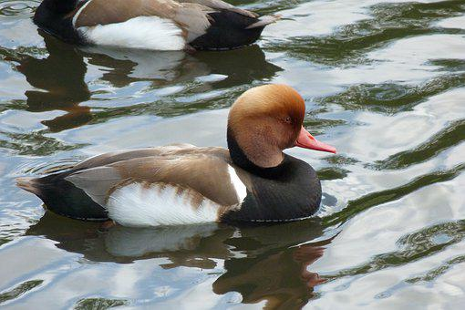Duck, Red Crested Pochard, Waterfowl, Wildlife