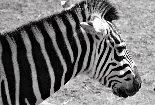 Zebra, Africa, Safari, Animal, Animal World
