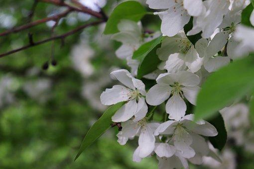 Apple Tree, Flowers, Spring, Tree, Bloom, Beautiful