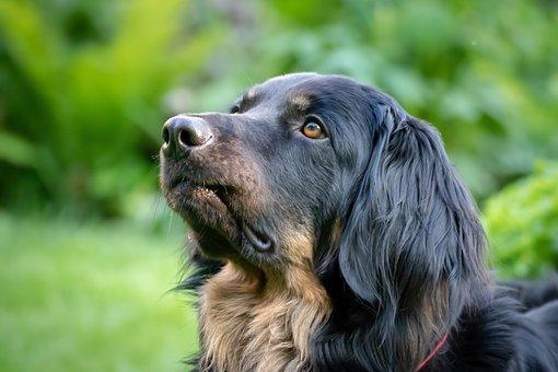 Dog, Large, Black, Hovawart, Dog Look, Animal Portrait