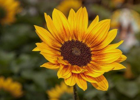 Helianthus, Flower, Blossom, Bloom, Sunflower, Yellow