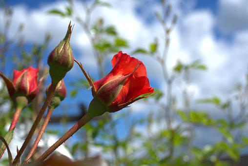 Rose, Red, Sky, Blue, Blossom, Bloom, Flower, Plant