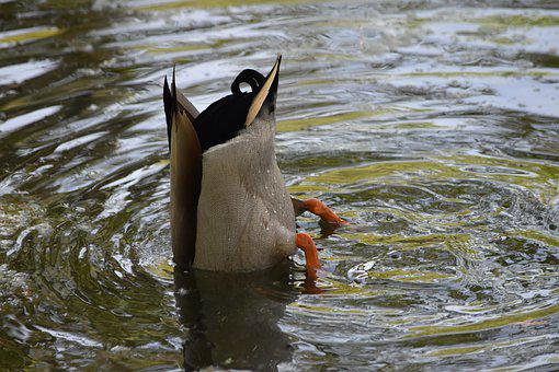 Bottoms Up Duck, Duck In The Pond