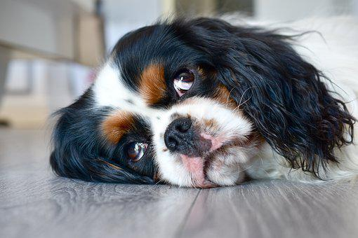 Dog, Cavalier King Charles, Cute, Animal, Canine, Look