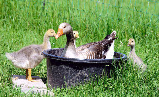 Goslings, Geese, Chicks, Animal World, Tub, Swim, Cute