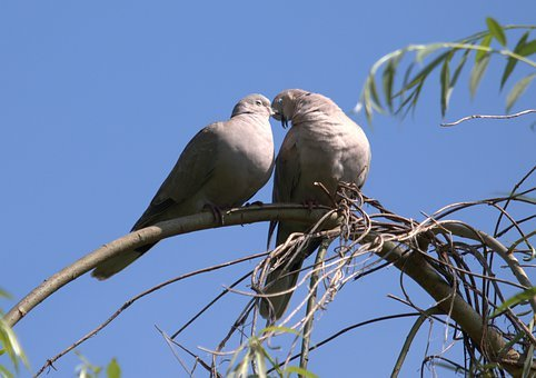 Pigeons, Couple, Love, Birds, Pair, Together, Kiss
