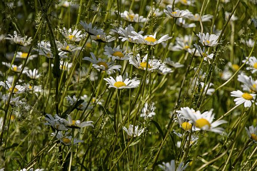Daisies, Meadow, Nature, Meadow Margerite, Wild Flowers