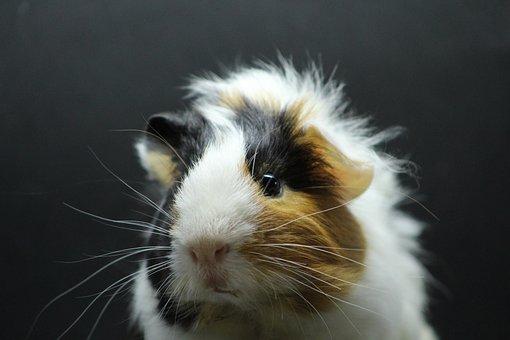 Sea Pig Fur, Animal, Sea pig, Fur, Face, Rodent
