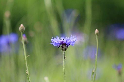 Blueberry, Flower, Wild, Blue, Plants, Pre, Field