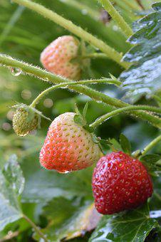 Strawberries, Nature, Plant, Fruit, Red, Fresh, Food