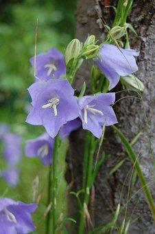 Flower, Bellflower, Violet, Purple, Blue, Garden