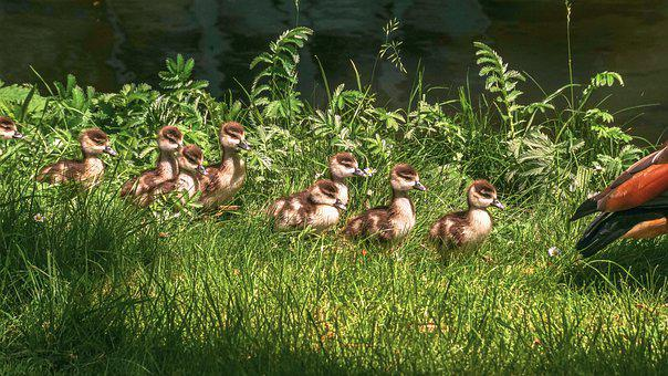 Chicks, Nilgans, Goslings, Young, Young Animals, Cute