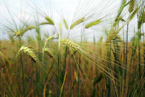 Wheat, Field, Agriculture, Summer, Nature, Grain, Farm