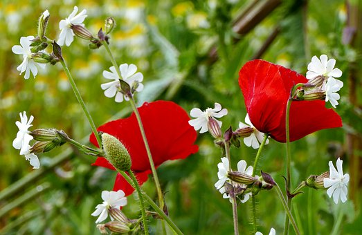 Nature, Meadow, Flowers, Poppy, Poppies, Halme, Stems