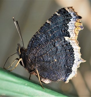 Mourning Cloak, Butterfly, Insect, Wing, Nature