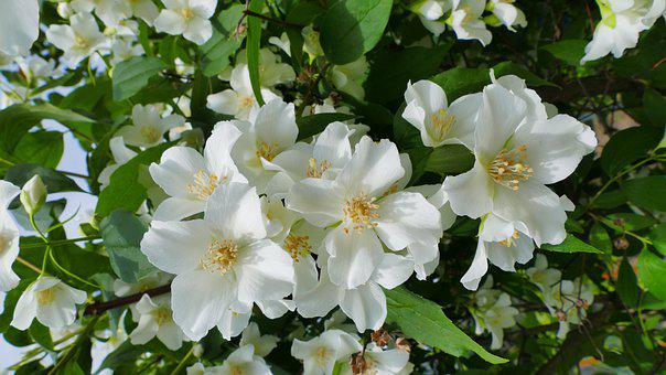 Jasmine, Flowers, Spring, Garden, Nature, The Smell Of