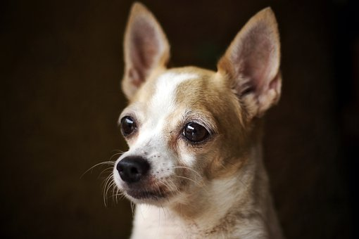 Chihuahua, Dog, Little, Puppy, Cute, Small, Pet, Animal