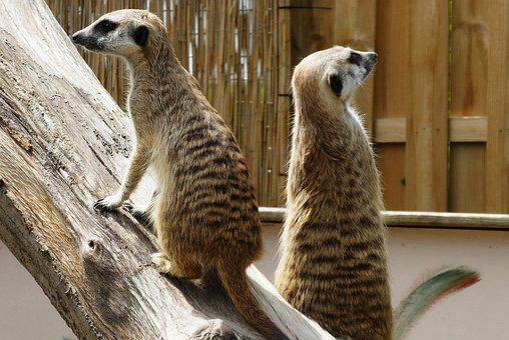 Meerkats, Animal Park, Faunapark, Meerkat, Lookout
