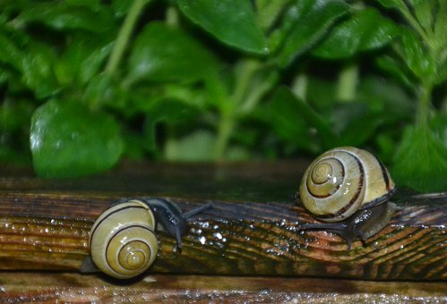 Snail, Tape Worm, Black, Mollusk, Reptile, Slowly