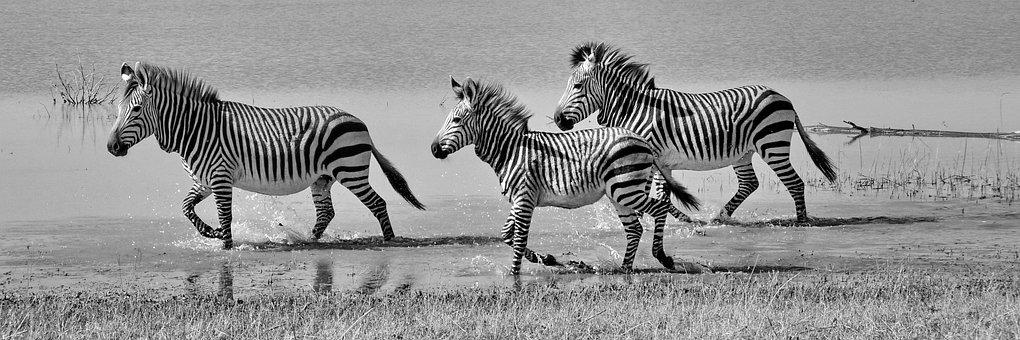 Hartmann's, Zebras, Mountain Zebras, Nature