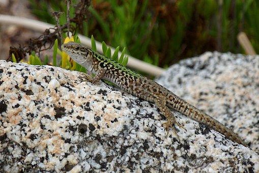 Lizard, Nature, Reptile, Gecko, Animals, Green